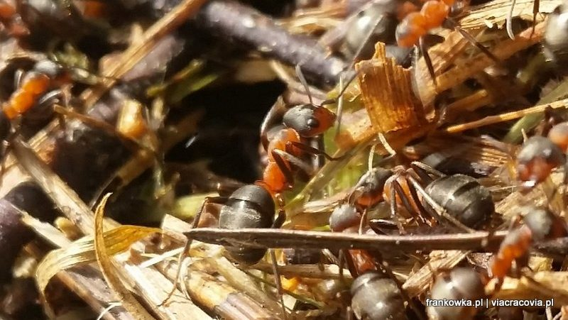 Mrówki ćmawe – leśni sanitariusze